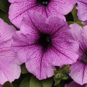Plum Vein Wave  Petunia Jumbo 6 Pack 19.99